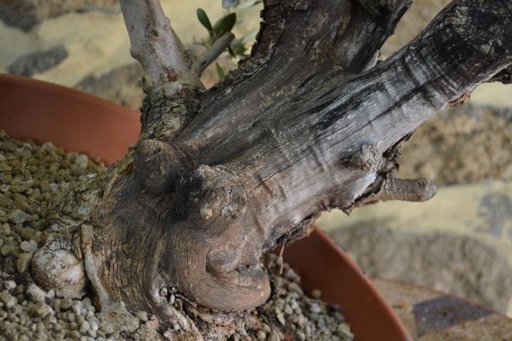 olivo con madera seca y cortes artificiales de poda.